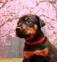 Via Felicium D-male with red collar-30 days (4)