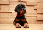 Via Felicium I-male with red collar (6 weeks) (2)