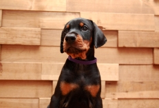 Via Felicium I-male with violet collar (6 weeks) (4)