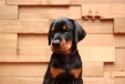 Via Felicium I-male with violet collar (6 weeks) (5)